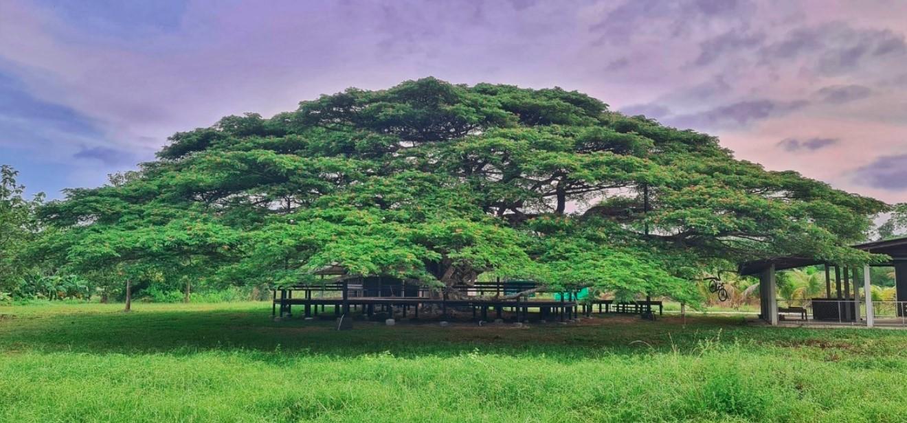 ระยอง แลนด์มาร์คใหม่ ใต้ต้นก้ามปูยักษ์ อายุมากกว่า 150ปี
