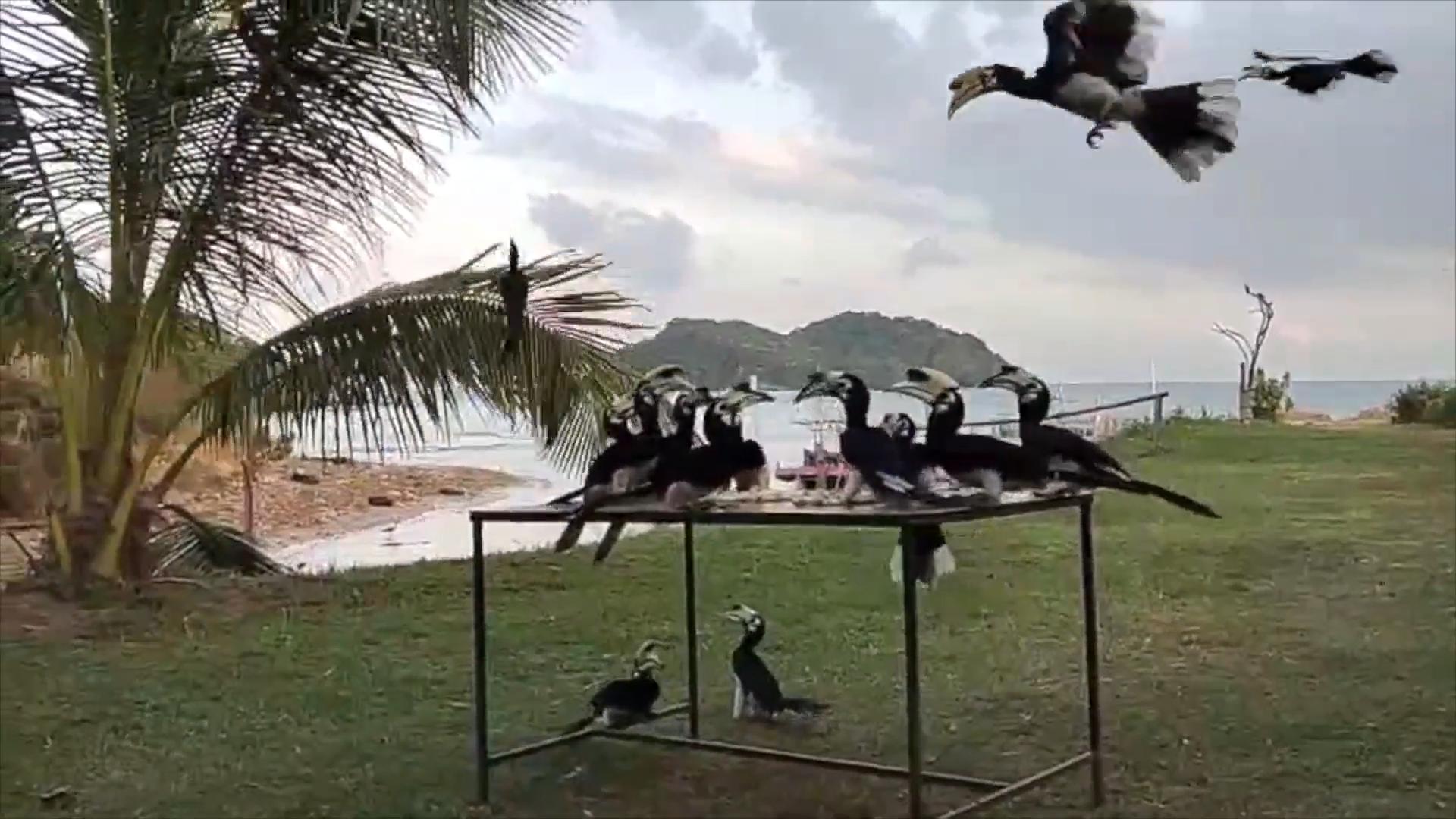 เกาะสมุยธรรมชาติได้รับการฟื้นฟูส่งผลให้นกเงือกมาหากินใกล้ชิดชาวบ้าน