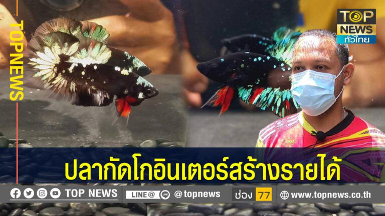 เซียนปลากัดผันตัวเลี้ยงปลากัดสวยงามส่งขายต่างประเทศ