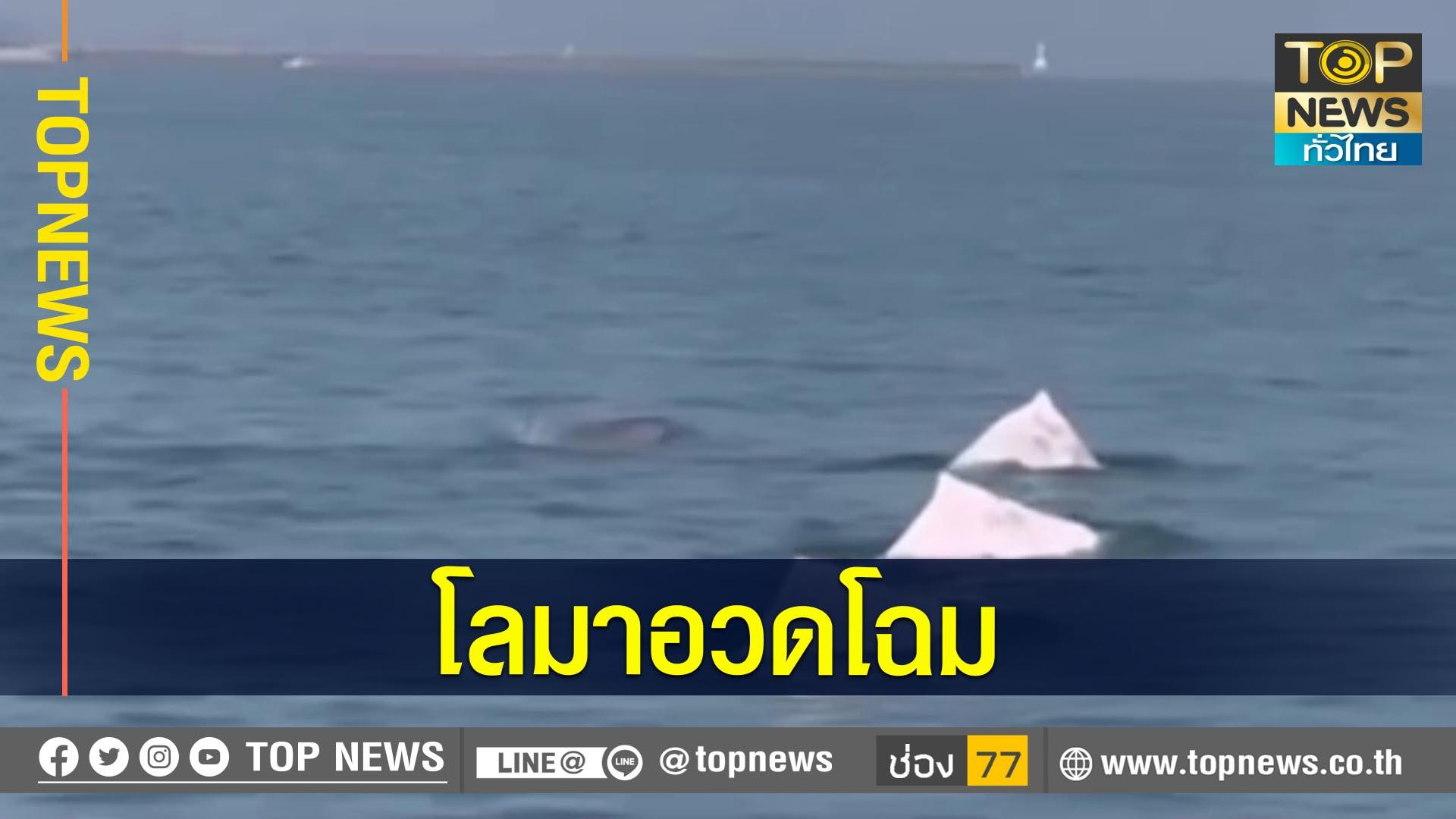 ฝูงโลมาสีชมพู เล่นน้ำอวดโฉมโชว์หน้าชายหาดสมิหลา