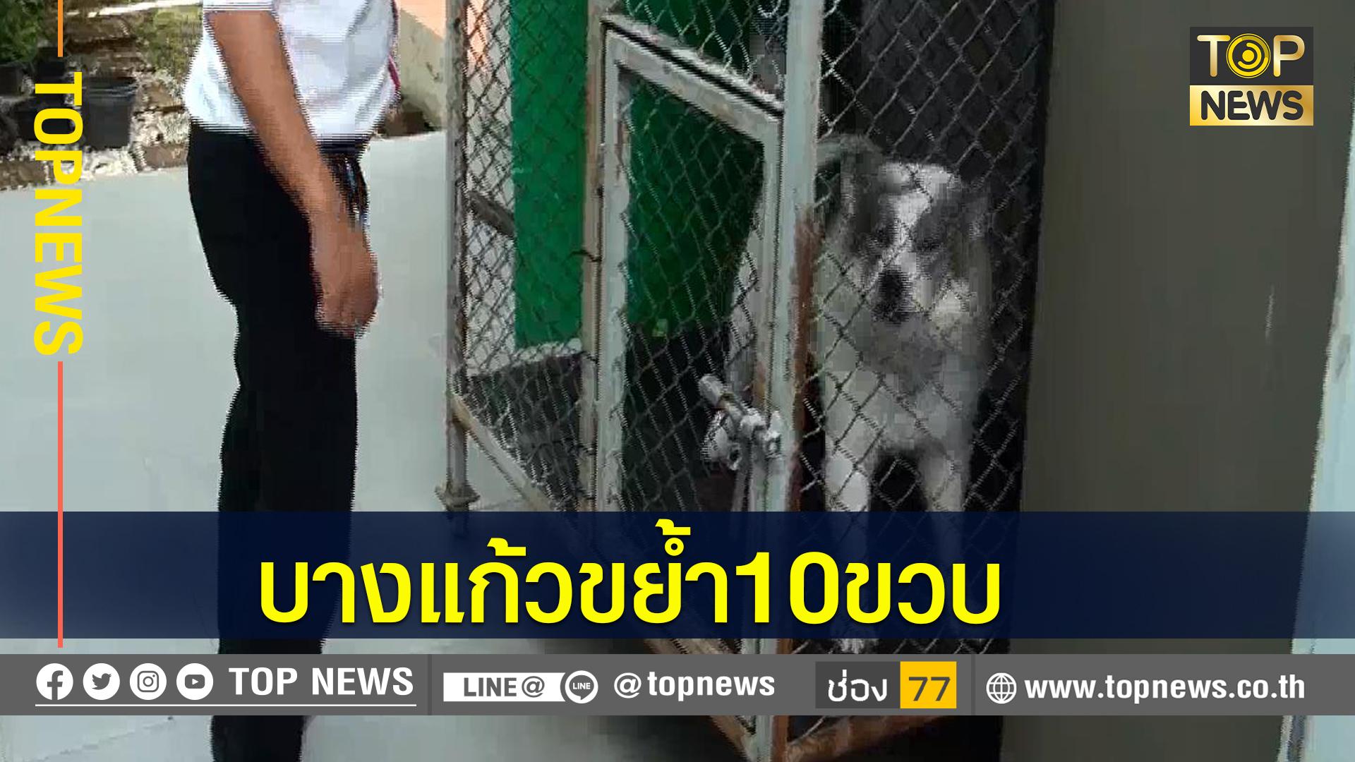 สุนัขพันธุ์บางแก้ว ตกใจกัดหูเด็กชายวัย10 ขวบ จนหูขาด